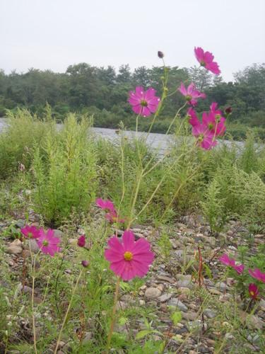 米代川に秋の花が咲くと、そろそろ鮎とお別れ...